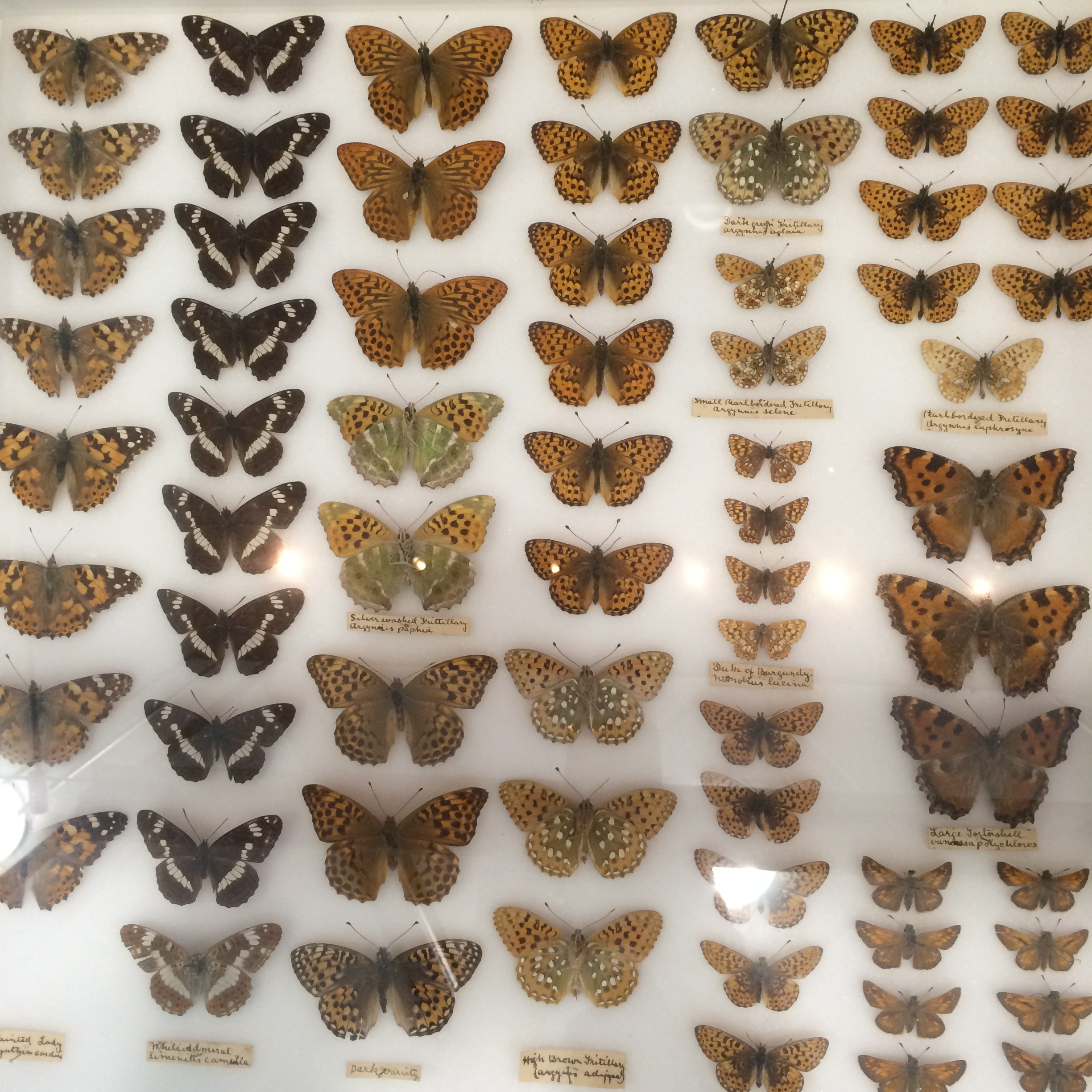 Wooden display cases of moths & butterflies, collected from the Claygate area by Edward James Smith, c.1894-7.