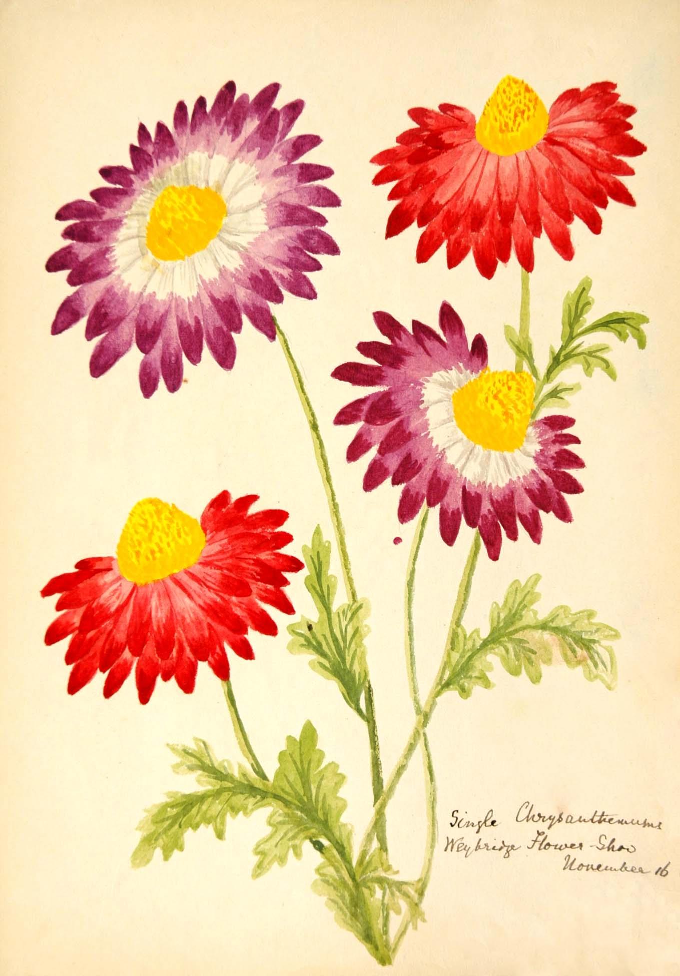 2.1929.2 Image of Single Chrysanthemums, Weybridge Flower Show